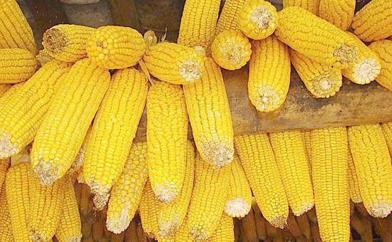 <b>2016年玉米政策全年回顾</b>