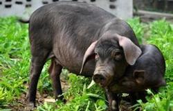 """海南黑猪变身致富""""利器"""" 特色养殖助推扶贫路"""