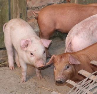 育肥猪咳嗽是怎么回事?   猪咳嗽的原因