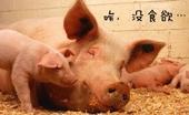 <b>猪不食怎么办?  猪不食治疗小偏方</b>