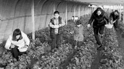 <b>广饶:温室草莓效益高 农民发家致富好项目</b>