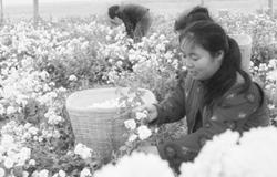 江苏东海:订单药材铺就农民致富路