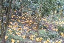 云南普洱墨江县260吨橘子滞销 连续降雨致全村受损26万