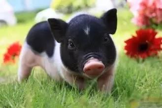 猪肉供不应求,畜禽环保禁养会松下来吗?
