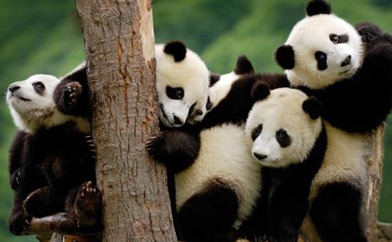 大熊猫繁殖和哺育后代具有胎生,哺乳的特征,因而属于哺乳动物,也是