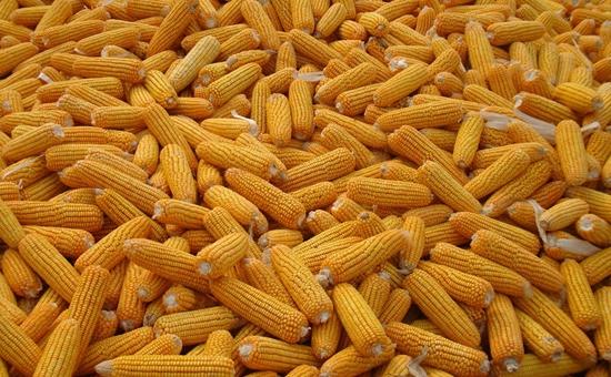 玉米又降价了!玉米种植管理时应避开的十类误区!