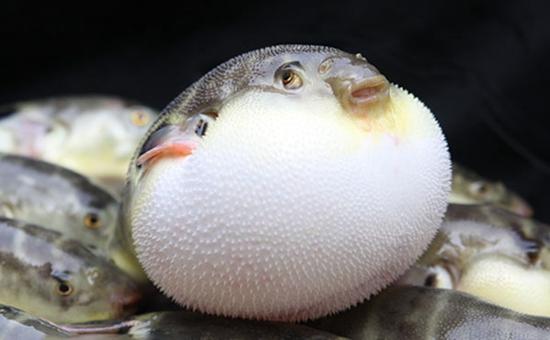 福州马尾港:渔获中惊现带毒河豚 藏身百吨海鱼中