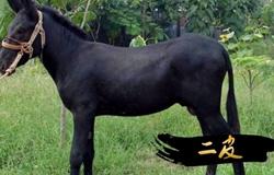 """东阿县:小黑驴""""驼""""出致富路"""