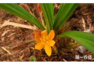 独脚仙茅怎么种植?独脚仙茅栽培技术