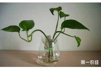 <b>水培花卉技术:3个小妙招,水培花卉不怕烂根啦!</b>