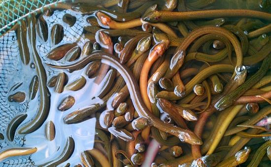 黄鳝养殖:黄鳝人工繁殖技术