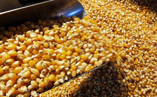 东北地区流入非法转基因玉米种子 究竟谁是幕后黑手?