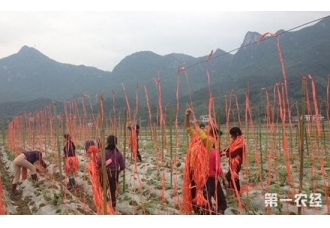 豆角苗甩蔓前搭好吊架好处多,越冬豆角吊架栽培技术