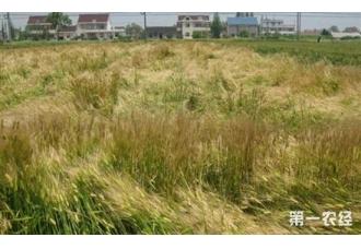 大麦种植:大麦倒伏的原因和防治方法