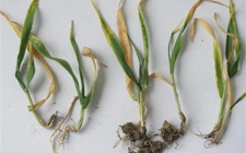 大麦黄花叶病的危害与防治方法
