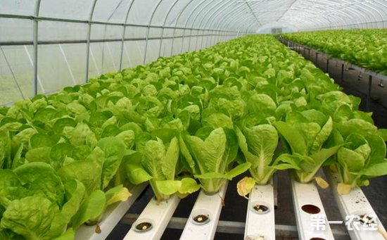 这种大棚水培叶菜不仅好看、安全,而且成本更低。生产采用营养液培育隔绝了土壤中的各种污染,并且经过杀菌消毒,从源头保证叶菜远离虫害困扰。大棚使用自动雨水收集装置,收集雨水制作营养液。雨水先经过沉淀、紫外线消毒再进入营养液配置。除此以外,在生产过程中不打农药,不用尿素,同时注重防虫网、诱虫灯、黄板的物理防治应用,集成虫害发生规律预警预测,全方位的保障生产过程中病虫害控制。据悉,科研人员已经研究出生菜、青菜、油麦菜等13种叶菜的营养液栽培模式。夏季,传统叶菜一般生产周期在35天左右,而水培叶菜只要30天左右