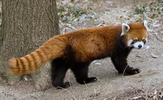 大熊猫和小熊猫是同一科吗?大熊猫和小熊猫的区别