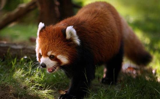 小熊猫是浣熊吗?小熊猫可以当宠物吗?