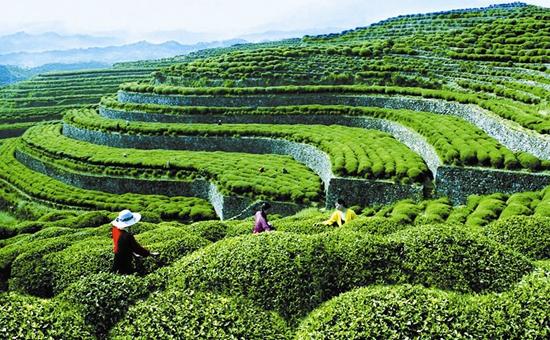 <b>湖北:做优做强茶产业的优势在哪里?如何加快茶产业转型升级?</b>