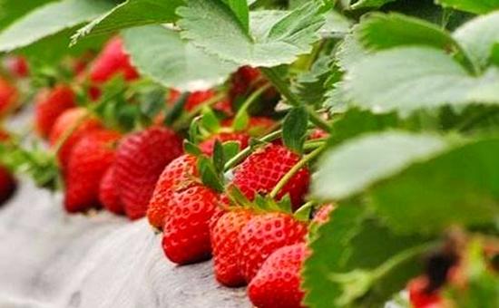 陶磊:技术种草莓 催开致富花