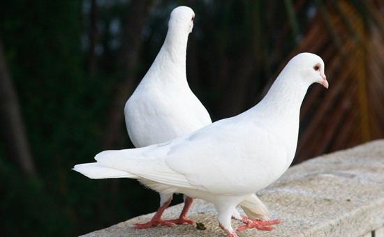 肉鸽价格:肉鸽种鸽多少钱一对?肉鸽多少钱一对?