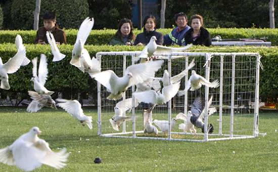 观赏鸽的种类有哪些?常见的观赏鸽品种