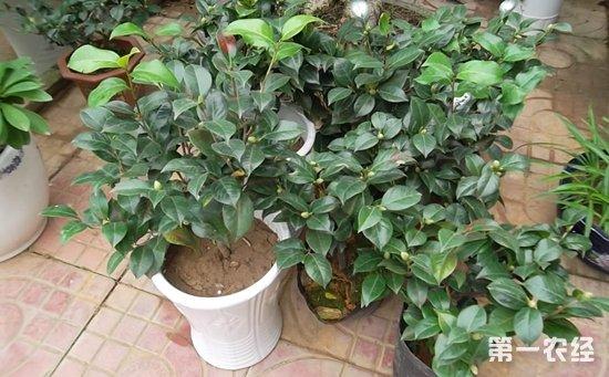 盆栽山茶花的种子穗嫁接方法