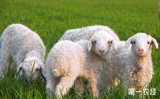一批转基因克隆绵 羊在内蒙古农业大学动物生物技术重点实验室诞生