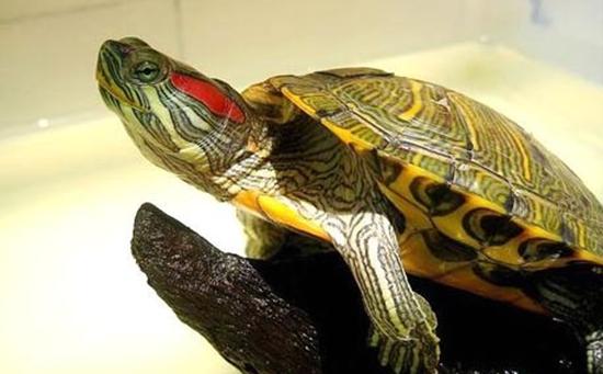 巴西龟吃什么长得快?巴西龟能长到多大?