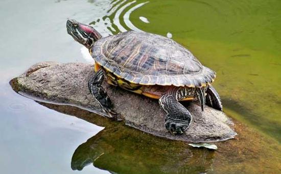 巴西龟可以干养吗?养巴西龟放多少水合适?
