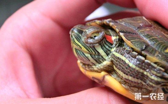 巴西龟眼睛肿了睁不开