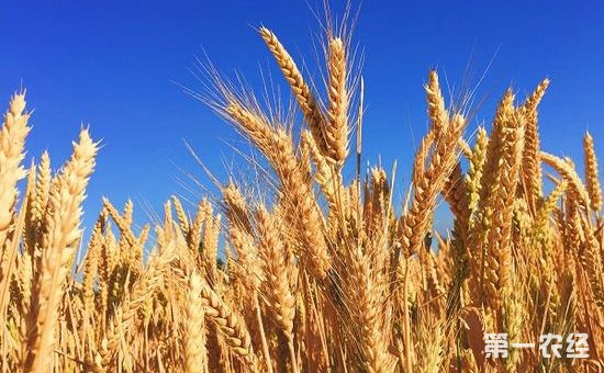 据洛桑研究所介绍,新开发的转基因小麦比普通小麦光合作用效率