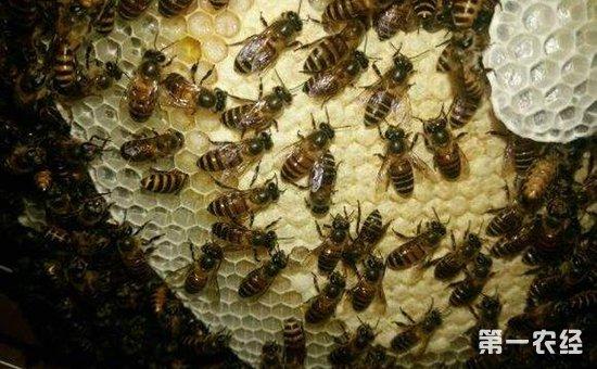 蜜蜂烂子病