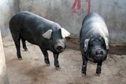 """定安县:""""猪专家""""养黑猪摘贫帽奔富路"""