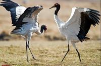 西藏自治区拉萨市墨竹工卡县特产:黑颈鹤