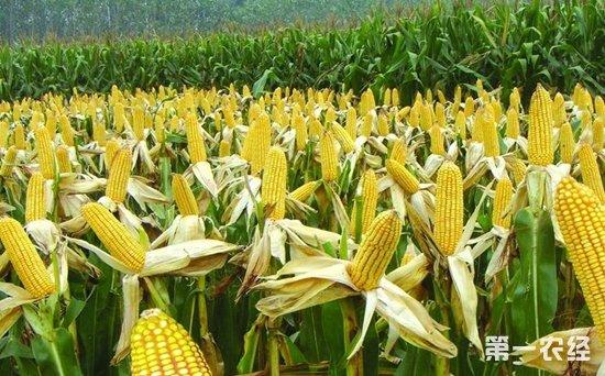甘肃省白银景泰县特产:玉米制种