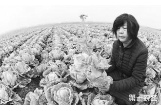 贷款200万种白菜 500万斤大白菜滞销愁煞农妇
