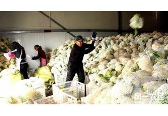 浙江苍南县花菜价格低迷滞销 菜农盲目种植集中上市是主因