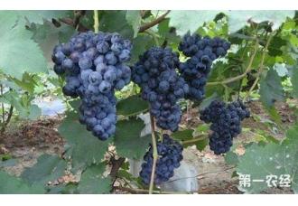 夏黑葡萄怎么种?夏黑葡萄种植技术