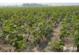 夏黑葡萄苗价格一株多少?