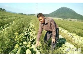 海南海口一菜农40万斤包菜滞销 每斤三四毛钱低价出售