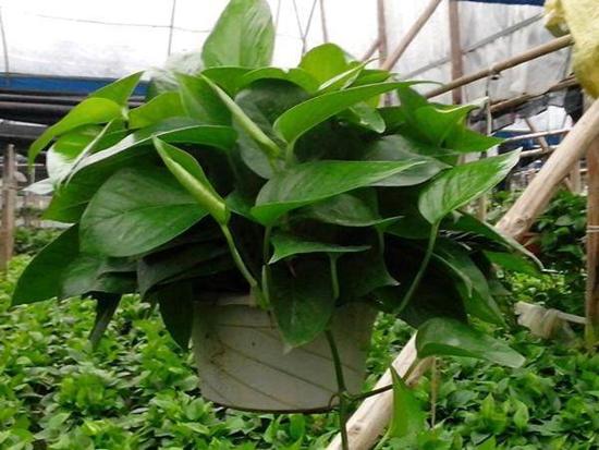 绿萝怎么养叶片长得更好 绿萝叶片如何养更浓绿健壮