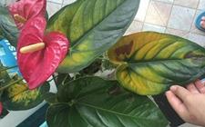 红掌叶子发黄怎么办?如何预防红掌叶子发黄?