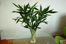 如何养殖富贵竹?怎么让富贵竹青翠欲滴?