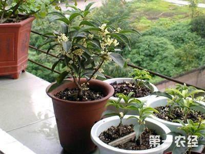 桂花树盆栽的扦插方法