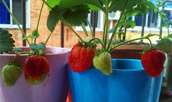 阳台如何种草莓?阳台草莓的种植方法