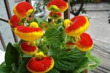 瓜叶菊香雪球等6种适合冬季养殖的花草