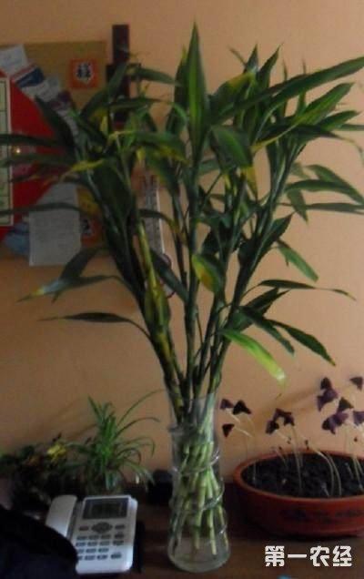 水培富贵竹叶子发黄怎么办?富贵竹怎么水培转土培?