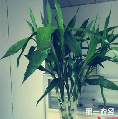 富贵竹不长根、叶子发黄怎么办?水培富贵竹水里放铁钉的作用