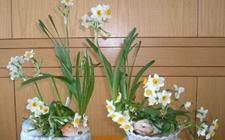 如何预防冬天水仙花花蕾干枯?